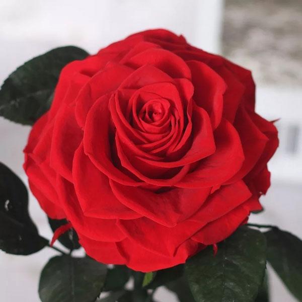 vecna-roza-v-stiklenica-s-podaricna-kutiq-10